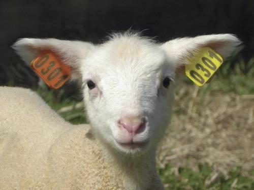 1- Boucles d'oreilles: marqués ou vierges
