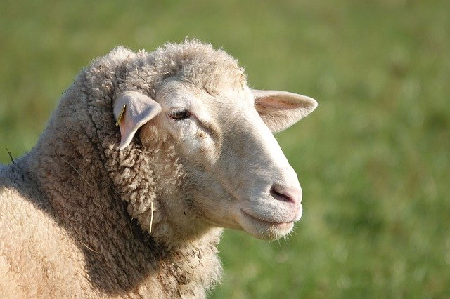sheep-4673941_640